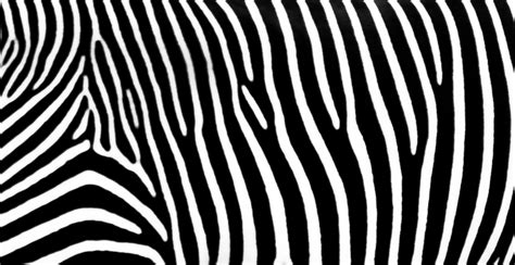 zebra stripes zebra stripes pattern stock image genstockphoto