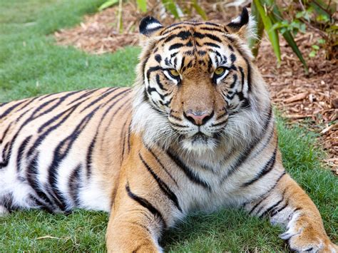 of tiger sumatran tiger zoo atlanta