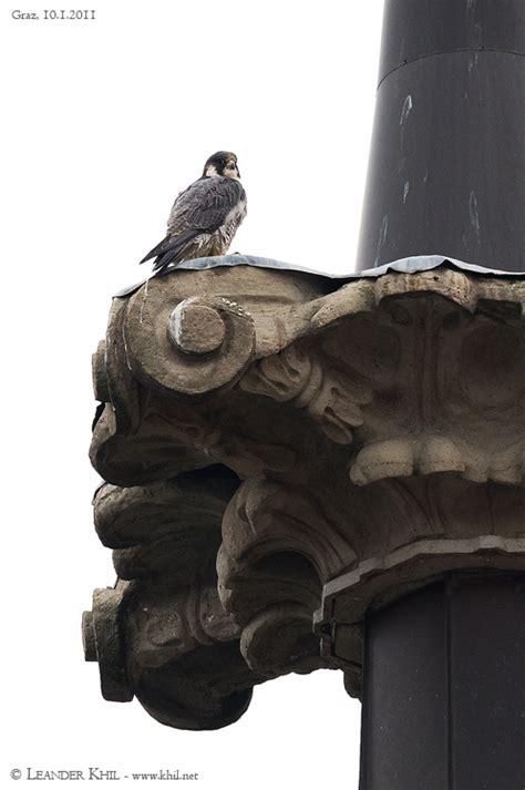 Der Gartenbaumläufer by Besuch Vom Wanderfalken Birding And Bird Photography