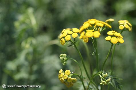 pictures of flowers tansy picture 22