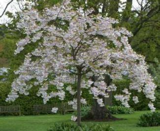mt fuji cherry tree nz 19 best images about trees on trees soil type and cherries