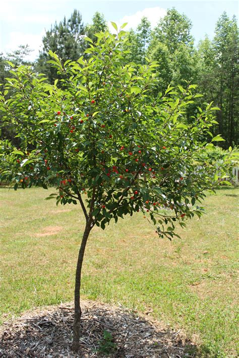 the pie cherry tree new on a homestead homesteading