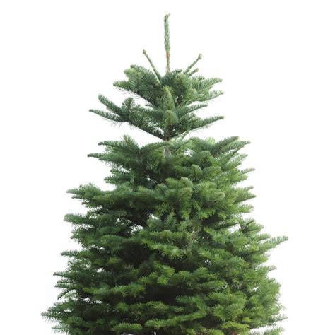 noble fir tree pictures shop 3 ft to 5 ft fresh cut noble fir tree at