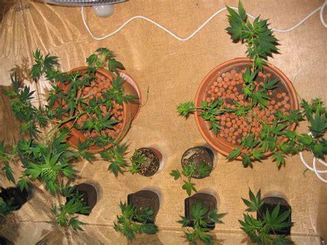 mr green culture cannabis