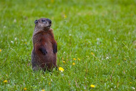 groundhog day jpg file groundhog standing2 jpg wikimedia commons