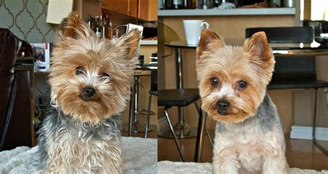 how to cut yorkie hair at home yorkshire terrier haircuts creative dog grooming