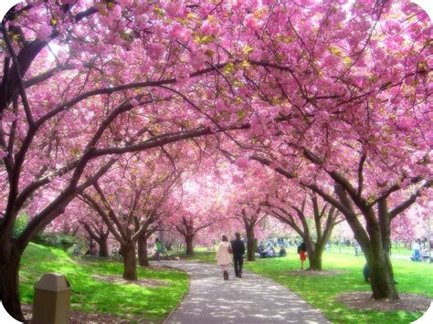 cherry blossoms with tess