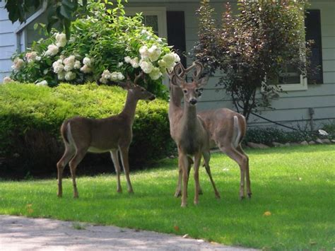 yard deer deer the