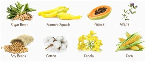 Genetically Modified Definition Crops by Educate Yourself Gmo S Feasting On