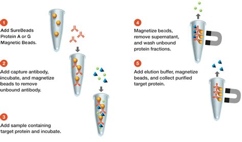 magnetic protein g surebeads protein g magnetic science