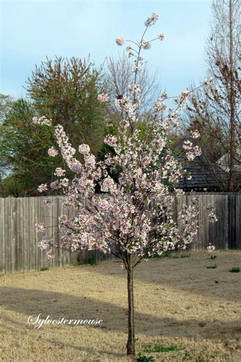 17 best images about varnell on sun search and yoshino cherry tree