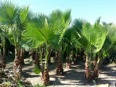 tree sales import export valencia palm trees for sale great