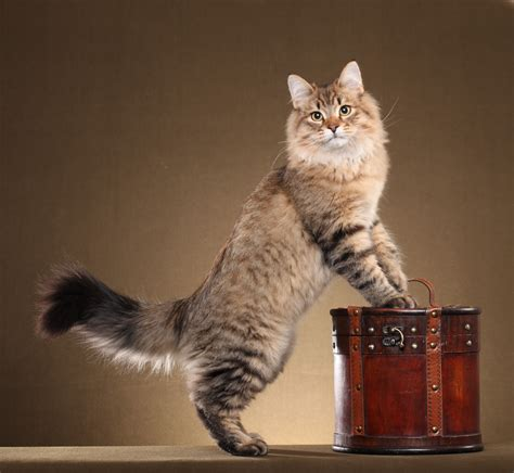 siberian cat posing on a brown background wallpapers and
