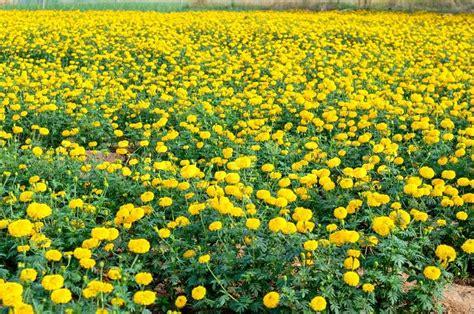 yellow garden flower yellow flower garden in thailand stock photo colourbox