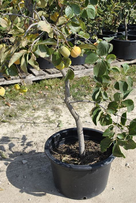 how to pot a tree growing fruit trees in containers part 2 stark bro s