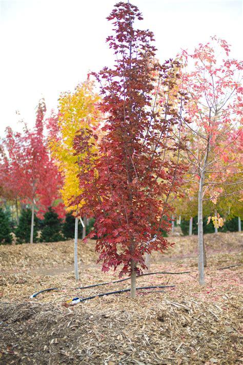 maple tree colorado maple crimson sentry for sale in boulder colorado