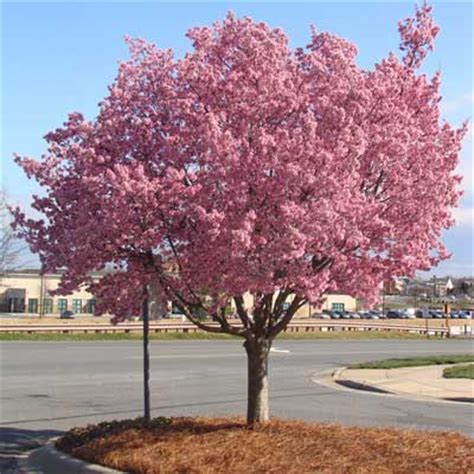 cherry trees okame cherry tree prunus for sale brighter blooms nursery