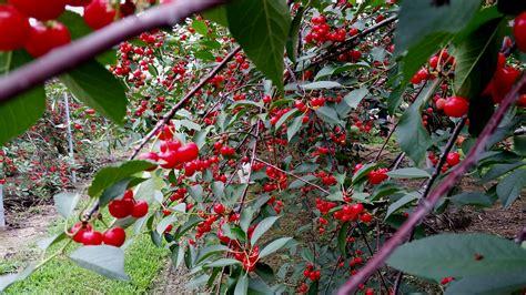 cherry abundance cynthia m voss