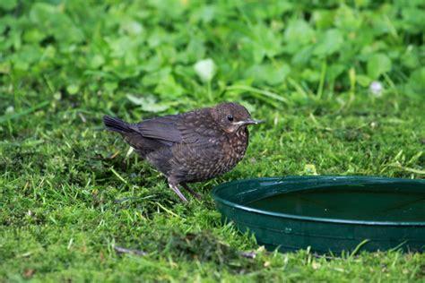 Der Garten Ratzeburg by Ein Amselk 252 Ken An Der Vogeltr 228 Nke In Unserem Garten