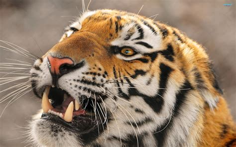 of tiger top 35 most beautiful tiger wallpapers