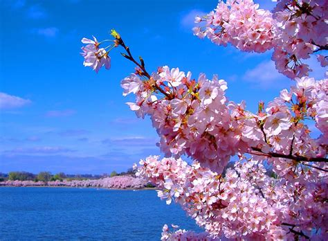 cherry blossom images lotus flower cherry blossoms