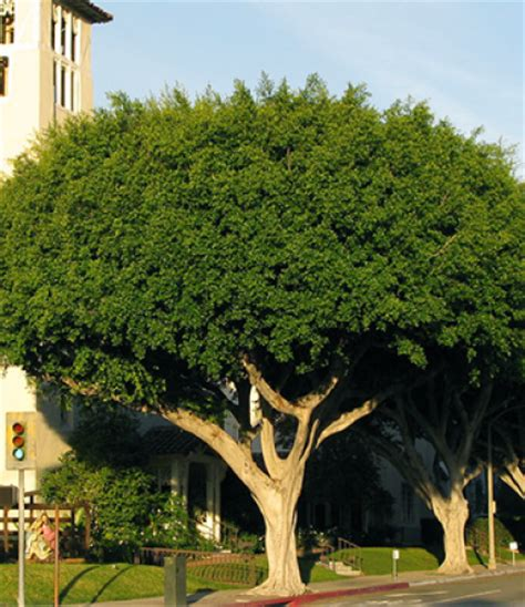 trees san diego indian laurel fig drought tolerant trees san diego