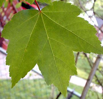 maple tree leaves tree shop co uk maple tree acer rubrum hardy brilliant leaves in autumn
