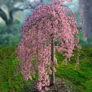 color my world beautiful weeping cherry tree cherry tree and cherries