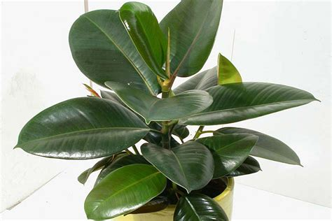 orchid rubber st category archive for quot indoor plants quot corner