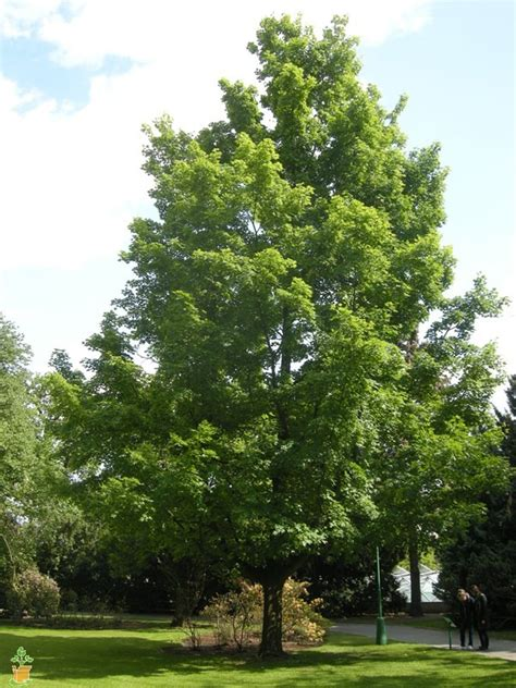 maple tree when to plant buy silver maple trees the planting tree