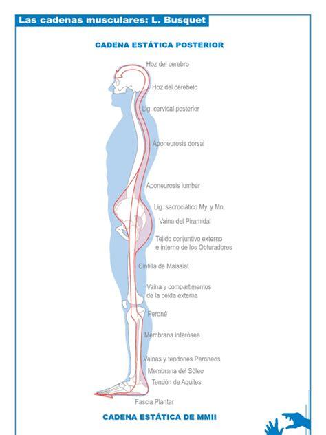 le 243 pold busquet las cadenas musculares - Cadenas Musculares Scribd