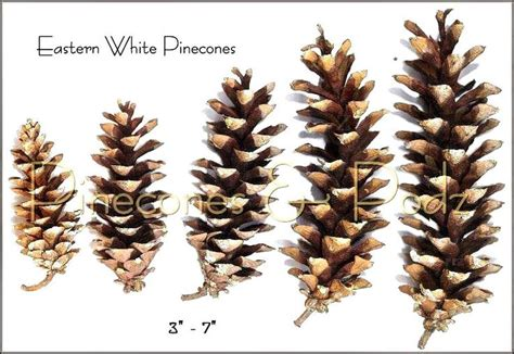 white pine cone 25 best transfers for pottery images on