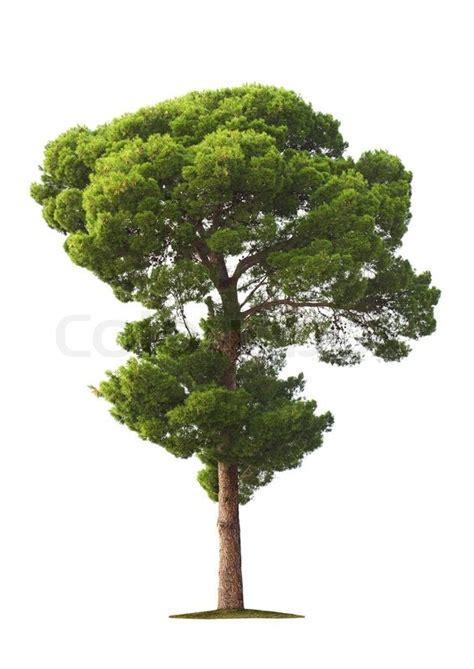 tree on white background tree on white background stock photo colourbox