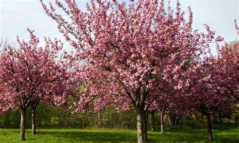 cherry tree vs cherry blossom tree up to 46 flowering cherry blossom tree groupon