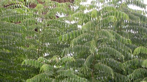 tree preservatives curry tree leaf has preservative potential study