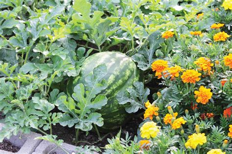 companion flowers for vegetable garden grow better vegetables with companion planting shelly s