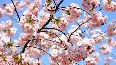 cherry tree vs cherry blossom tree pink japanese cherry blossom tree shinjuku gyoen national park tokyo stock footage