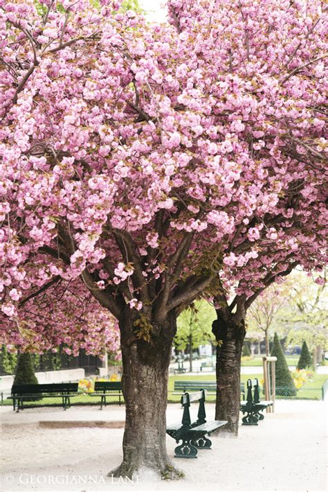 april in clouds of pink georgianna