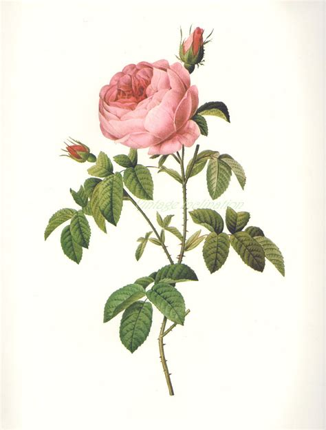 vintage botanical chart print french 1700s redoute rose