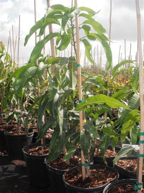tree sales alphonso mango trees for sale in usa