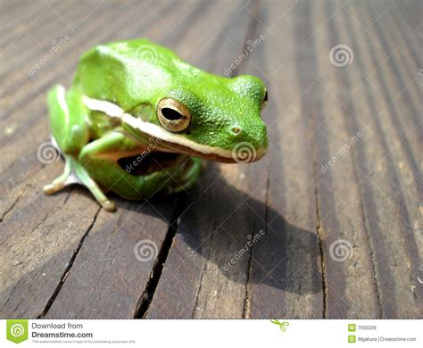 tree frog woodworking green tree frog on the wooden deck royalty free stock