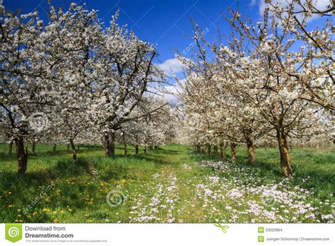 cherry tree orchard in stock photo image of blossum view 53023964