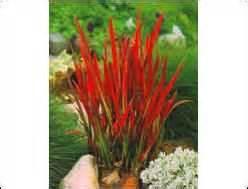 ziergras immergrün winterhart pflanzen kaufen balkonpflanzen zimmerpflanzen