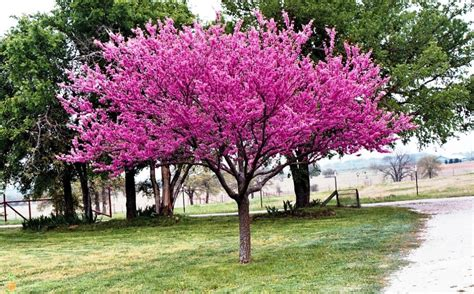 trees for sale eastern redbud trees for sale the planting tree
