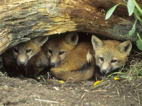 fox den fox foxes and cubs on