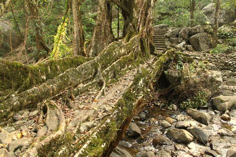living bridges sustainable architecture the living bridges of meghalaya