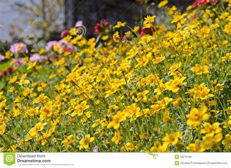 yellow garden flower yellow garden cosmos flowers stock photo image 58218188