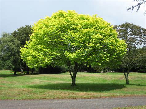 tree c file bright green tree waikato jpg