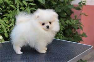 teacup pomeranian best images collections hd for gadget
