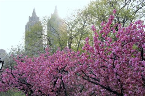 cherry blossom trees in central park